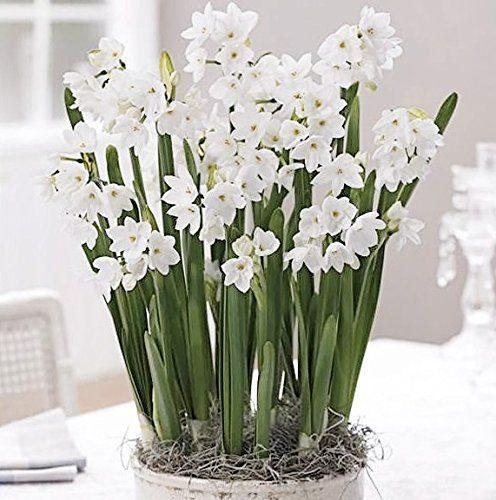 40 Ziva Paperwhites ready to grow! 13-15cm- Indoor Narcissus