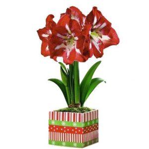 Amaryllis Red Star (Minerva) in Festive Holiday Planter