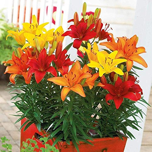 Sunset Mix Asiatic Lily (5 bulbs) Pots and Planters