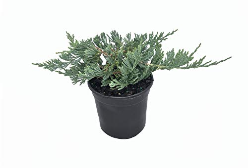 """Blue Rug Juniper - 15 Live Plants - 4"""" Container Low Maintenance Evergreen"""