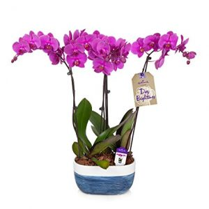 "Orchid Flower Plant, Purple in 10"" Blue and White Ceramic Container"