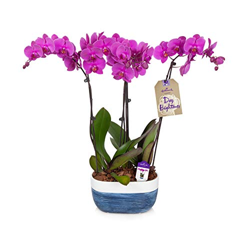 """Orchid Flower Plant, Purple in 10"""" Blue and White Ceramic Container"""