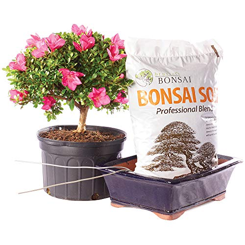 Brussel's Bonsai Live Azalea Outdoor Bonsai Tree PIY Bundle