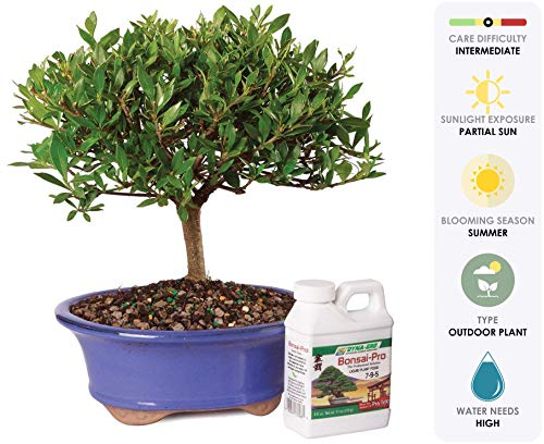 "Brussel's Live Gardenia Outdoor Bonsai Tree - 5 Years Old; 8"" to 10"" Tall"