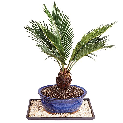 "Brussel's Live Sago Palm Indoor Bonsai Tree - 8 Years Old; 8"" to 12"" Tall"