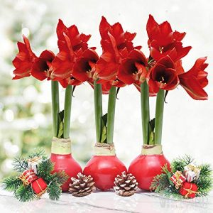 Red Waxed Amaryllis Flower Collection, No Water Needed
