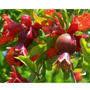Live Plant Dwarf Pomegranate Tree (Punica granatum 'Nana') Container/Patio/Bonsai