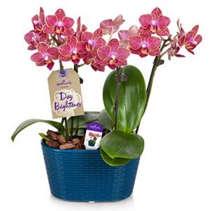 """Orchid Flower Plant, Salmon in 4"""" Blue Ceramic Container"""
