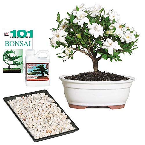 """Brussel's Bonsai Live Gardenia Outdoor Bonsai Tree-4 Years Old 6"""" to 8"""" Tall"""