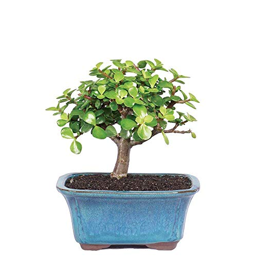 """Brussel's Bonsai Live Dwarf Jade Indoor Bonsai Tree-3 Years Old 4"""" to 6"""" Tall with Decorative Container, Small"""