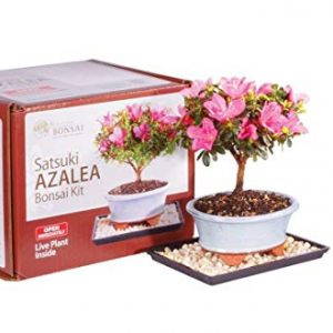 """Brussel's Live Satsuki Azalea Outdoor Bonsai Tree Kit - 4 Years Old; 6"""" to 8"""" Tall with Decorative Container"""