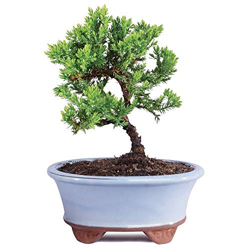 "Brussel's Bonsai Live Green Mound Juniper Outdoor Bonsai Tree-3 Years Old 4"" to 6"" Tall with Decorative Container-Not Sold in California,"