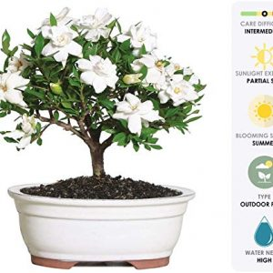 "Brussel's Live Gardenia Outdoor Bonsai Tree - 4 Years Old; 6"" to 8"" Tall with Decorative Container - Not Sold in Arizona"