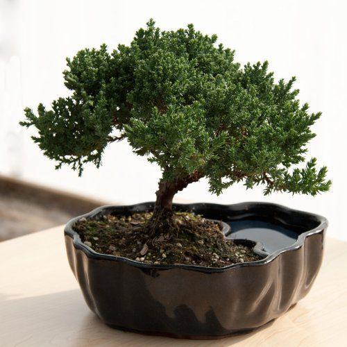 9GreenBox - Zen Reflections Juniper Bonsai