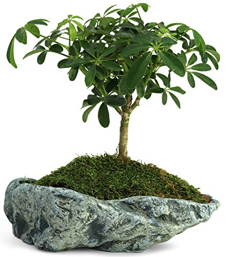 Natural Elements Rock Planter (Basin) – Realistic Woodland-Themed with Intricate Stone Detail. Grow Succulents, Cactus, African Violets and Bonsai. Striking in Any décor.