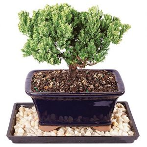 """Brussel's Live Green Mound Juniper Outdoor Bonsai Tree - 4 Years Old; 6"""" to 8"""" Tall with Decorative Container, Humidity Tray & Deco Rock"""
